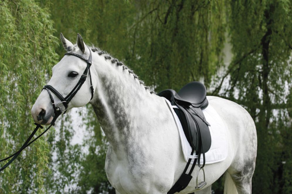 La Maestoso sur un cheval. Toutes les photo de cet article ont été empruntées au site Stübben