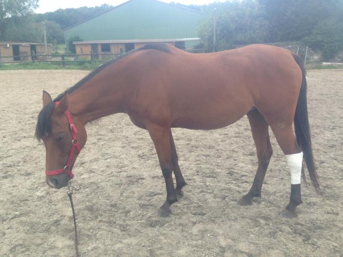 Shaheen en mode cheval malade et blessé