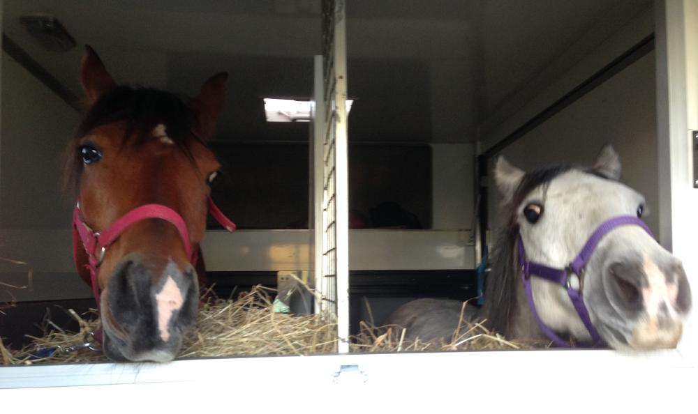chevaux-shaheen-uriel-camion-besuperglad