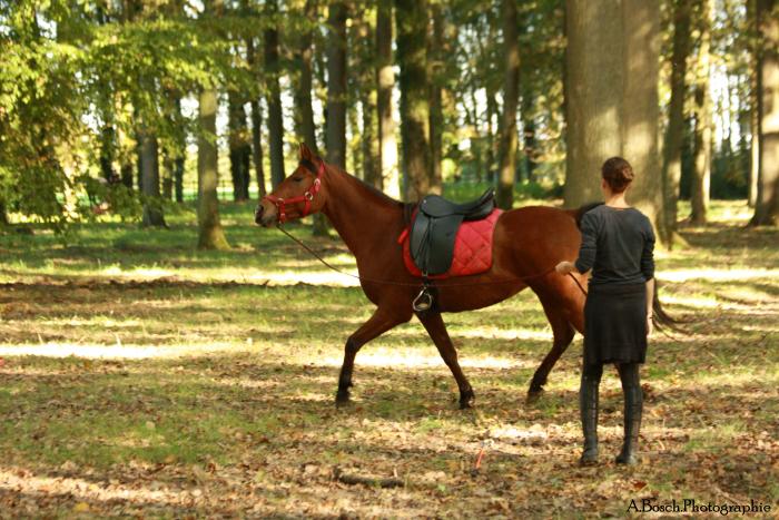 longe-cheval-shaheen-arabe-besuperglad-2