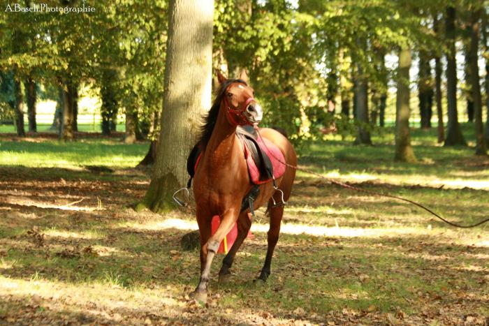 longe-cheval-shaheen-arabe-besuperglad-3