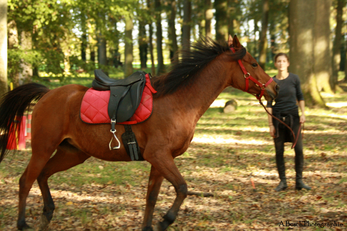 longe-cheval-shaheen-arabe-besuperglad
