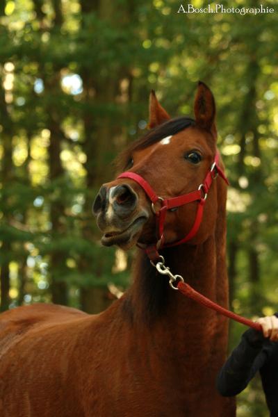 portrait-cheval-shaheen-besuperglad-2